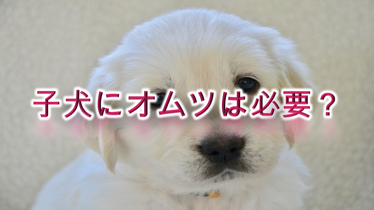 子犬にオムツは必要?【犬用オムツのメリットやデメリット】