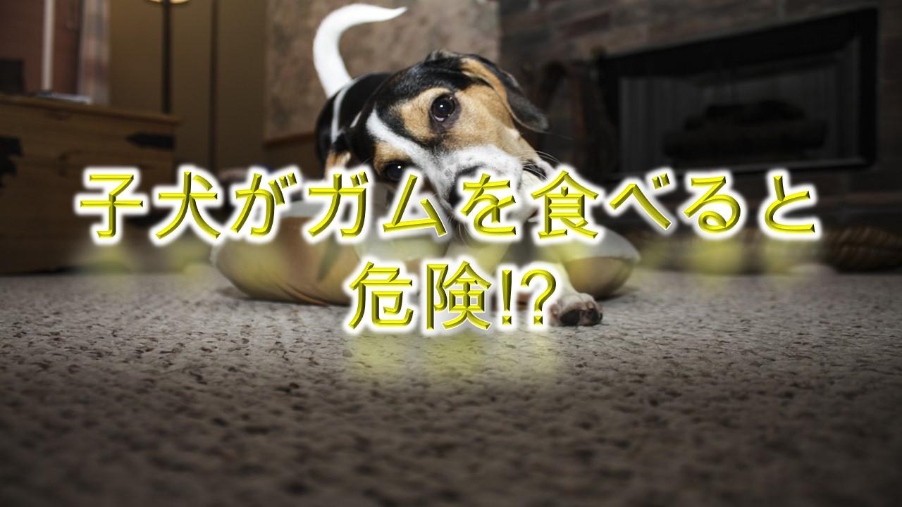 子犬がガムを食べると危険!?【犬用のお菓子を与える時期なども詳しく解説】