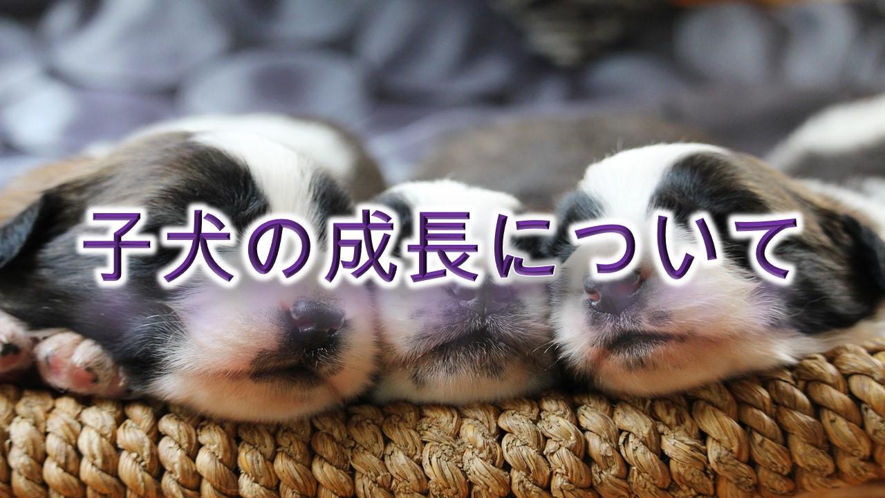 子犬の成長について【どのように成長していくのかをざっくり解説】