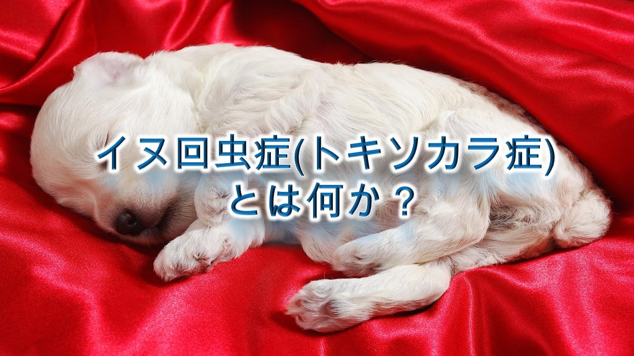 イヌ回虫症(トキソカラ症)とは何か?【子犬はこの寄生虫に注意!】
