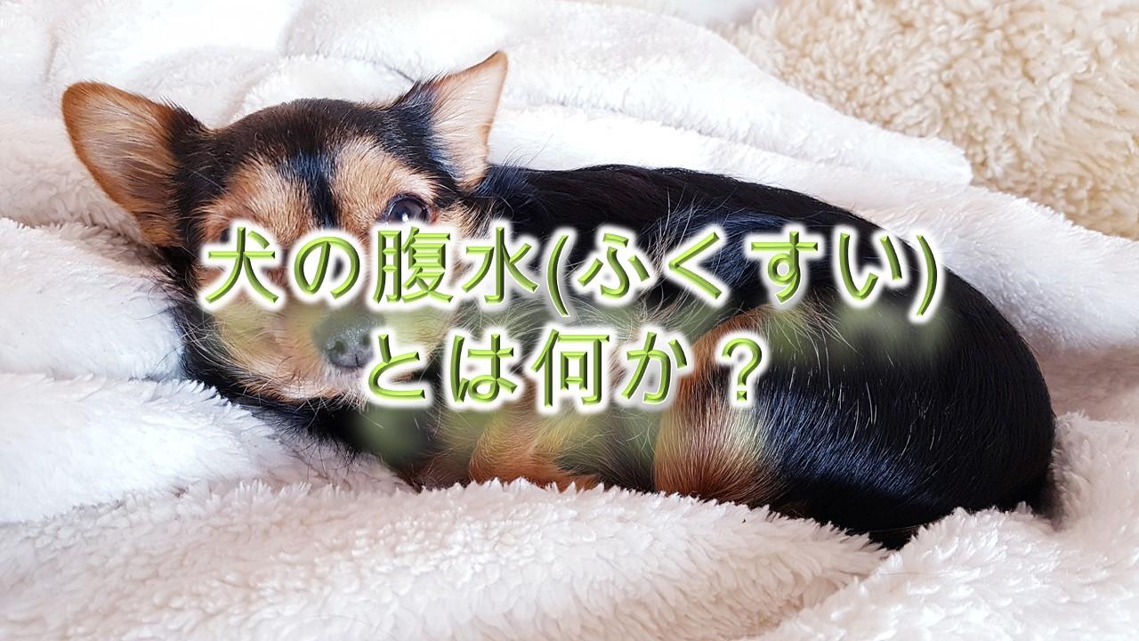 犬の腹水(ふくすい)とは何か?【わかりやすく簡単な言葉で解説】