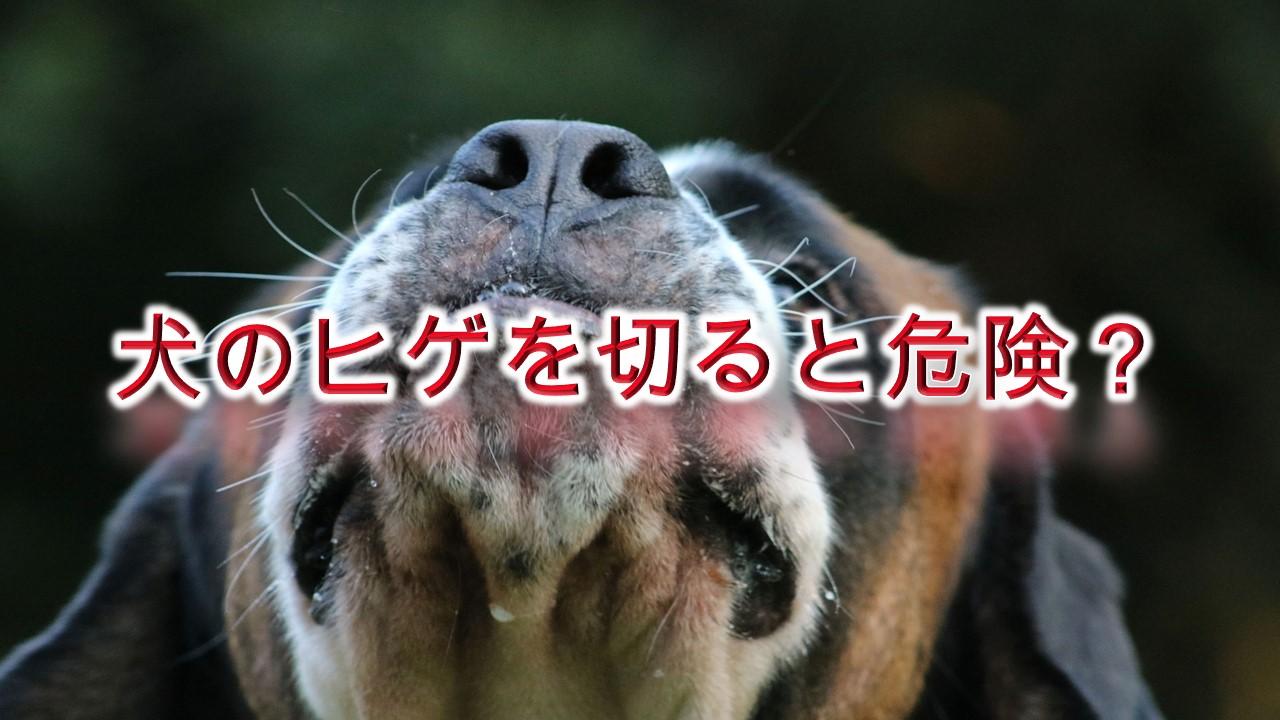 犬のヒゲを切ると危険?【いぬの髭の役割について】