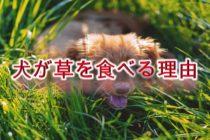 犬が草を食べる理由